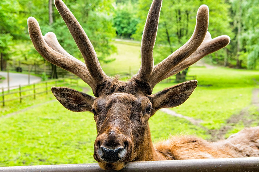 Golf-Gruppenreisen-Finnland-Helsinki-Lappland-Ounaskievari-Rentier-Farm